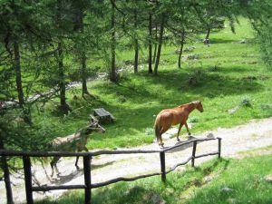 cavalli fra i boschi